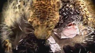 笑える - おもしろ - エリゾ対ライオンズ2016、ピットブル、ヘビ、ヒョ...