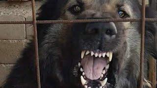 ancient bloodline dogs Illyrian Sheepdog 2021