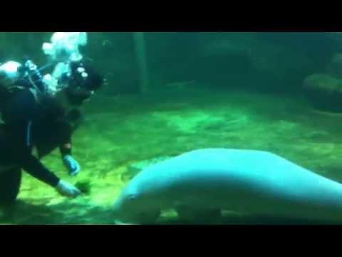 Ikan Duyung / Dugong Fish sebesar manusia Di Sea Worl Indonesia