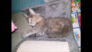 The Maine Coon kittens playing