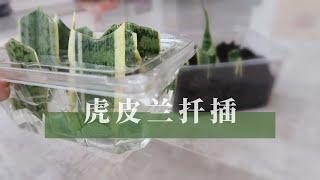 主妇日常之种植 给虎皮兰扦插繁殖 怎么利用塑料盒给虎皮兰水培