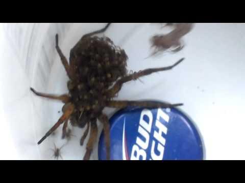 Hocking County MaMa Spider