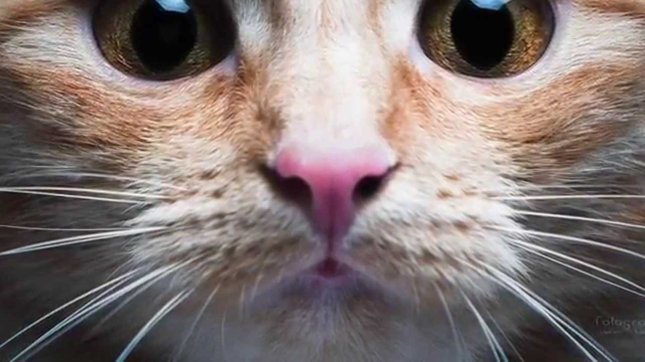 cuánto dura el embarazo de una gata
