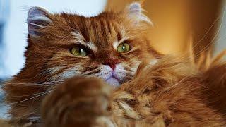 Как расчесать кота, как не допускать колтунов