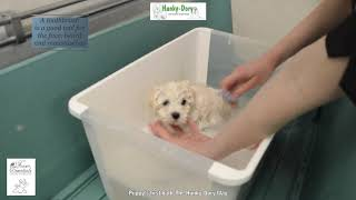 Bolognese Puppy's First Bath
