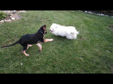 American Eskimo Dog versus German Shepherd Dog