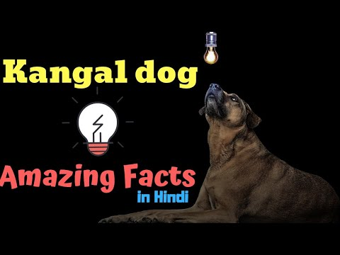 Amazing Facts on Kangal dog | In Hindi | Dog Facts | Animal Channel Hindi