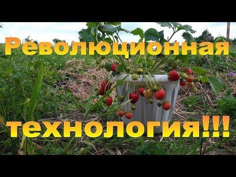 Выращивание клубники - ЭКО!!! Без потерь и круглый год!