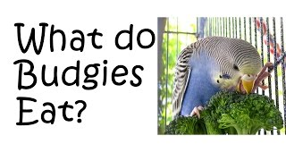 Budgie Diet - What do Parakeets eats