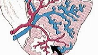 How the Body Works : The Spleen