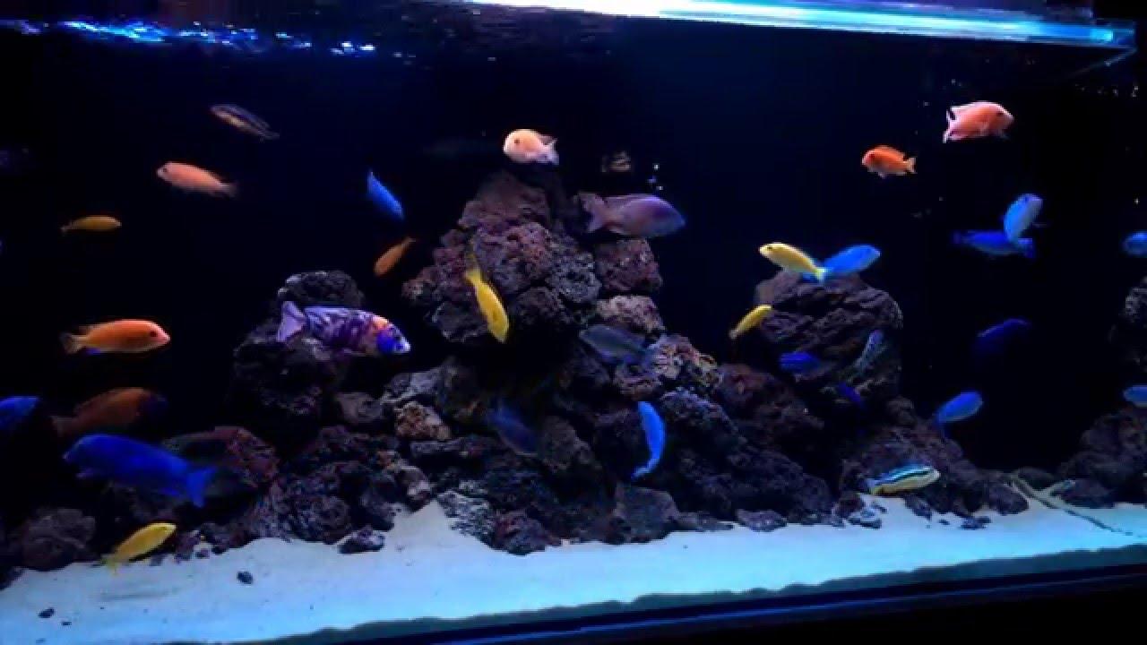 . cichlids tank. malawi aquarium. lava