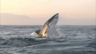 Breaching Great White sharks, Seal Island South Africa