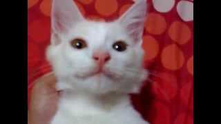 AJAIB KUCING BISA NGOMONG ( cat can talk )