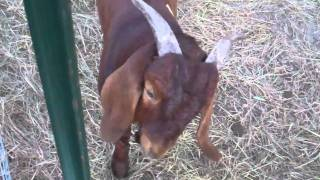 Colored Bucks at Greater East Texas Boer Goats
