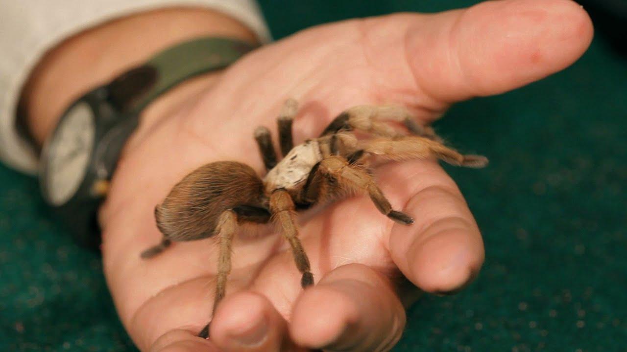 3 best tarantula breeds