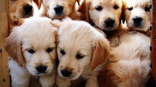 Golden Retriever Puppies Growing  Weeks 1-12