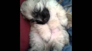 My Cute Pomeranian X Maltese Puppy Dreaming