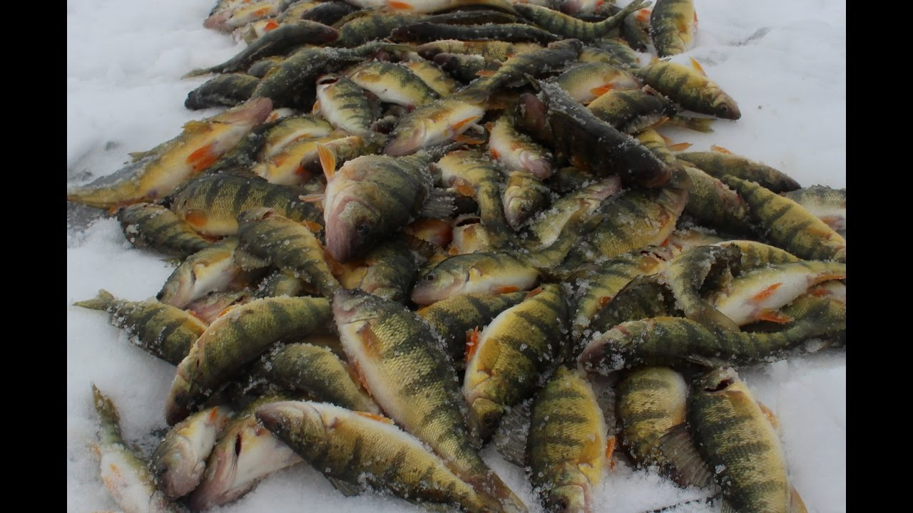 Ice fishing jumbo perch limits lake st clair youtube for Ice fishing perch