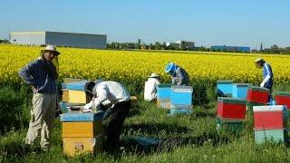 Cules de rapita - ep.2 - Dezvoltare rapida - cum aplicam folia si catul de miere