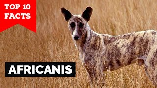 Africanis  Top 10 Facts