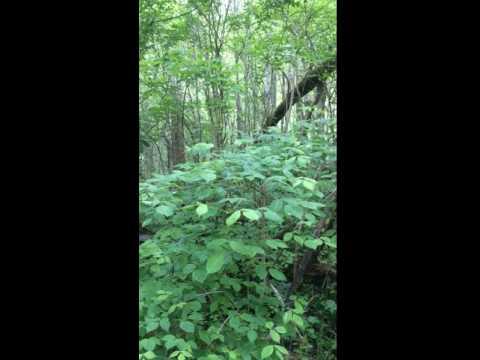 Worm-eating warbler 3, John Bryan State Park, May 11th, 2016