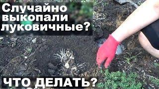 Нарциссы в саду Что делать, если вы случайно выкопали нарциссы  осенью в ноябре