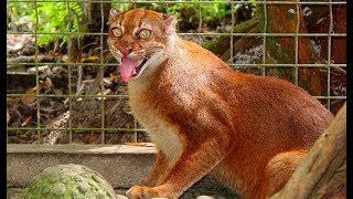 Rarest cats in the world: Bay Cat (Kalimantan cat)