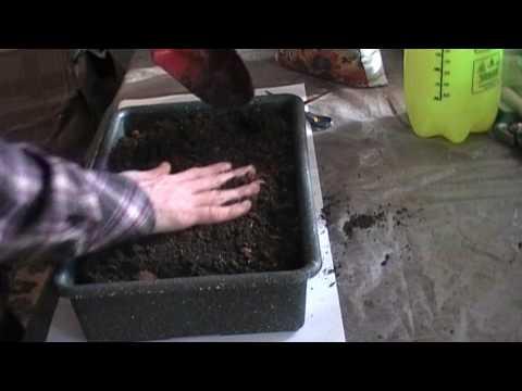 Вопрос: Как выращивать сладкий лук?