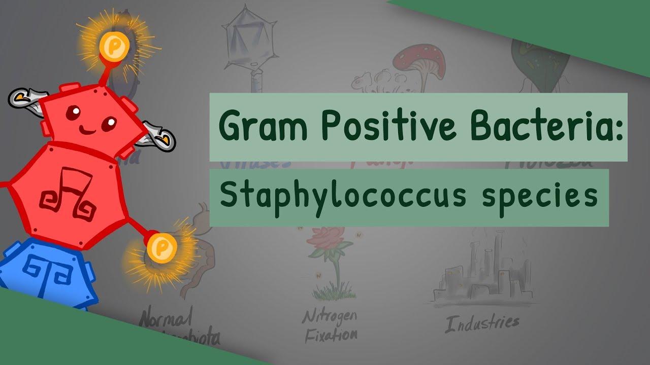 Staphylococcus aureus - Tudástár