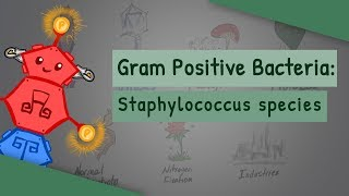 Staphylococcus species (Characteristics, Clinical complications, Differences)