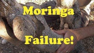 Moringa Tree Failure