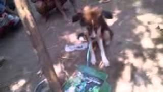Anjing Jadi jadian di Nganjuk Jawa Timur