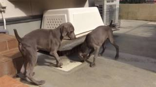 母犬と一緒に遊ぶワイマラナーPuppies♡ 全国優良ブリーダーの子犬紹介サ...