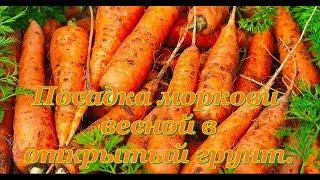 Посадка моркови.  Весна, огород, открытый грунт.