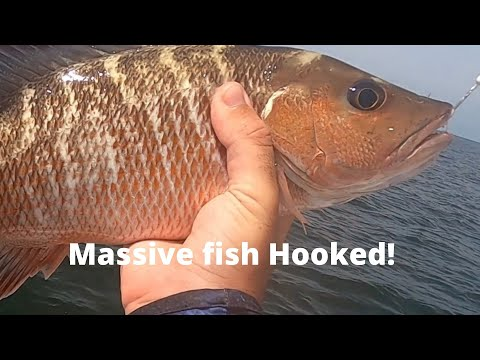 Nice Tampa Bay Shipping Channel Mangrove Snapper Plus (massive Fish Hooked)
