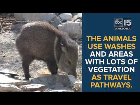 7 strange things you need to know about javelina - ABC15 Digital