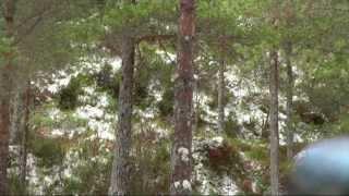 Felling av forsiktig hjortekolle