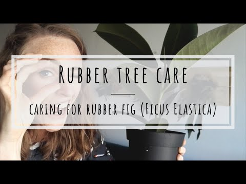 Rubber tree care: how to keep rubber fig happy