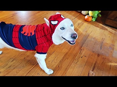 My Dogs Try On Halloween Costumes