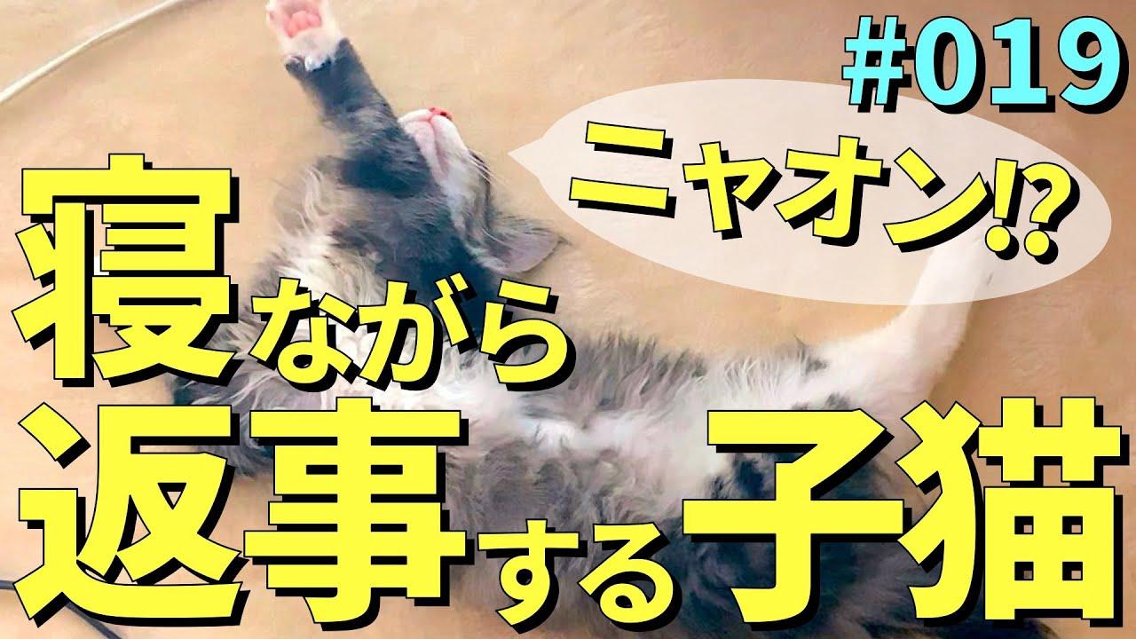 寝ながら寝言で返事をする子猫がかわいすぎる…【ぽん太のいる生活】【ノルウェージャンフォレストキャット】