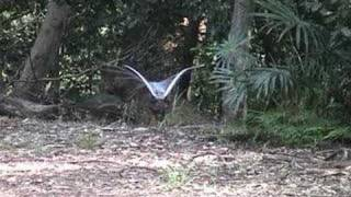 Superb Lyrebirds