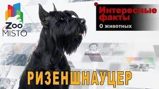 Ризеншнауцер - Интересные факты о породе  | Собака породы   ризеншнауцер