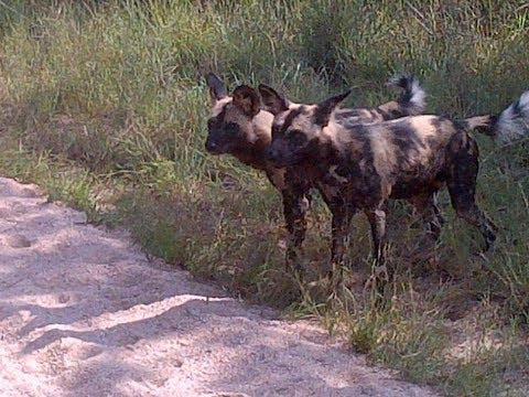 Wild Dogs Playing With A Herd Of Zebras - 10 March 2013 - Latest Sightings