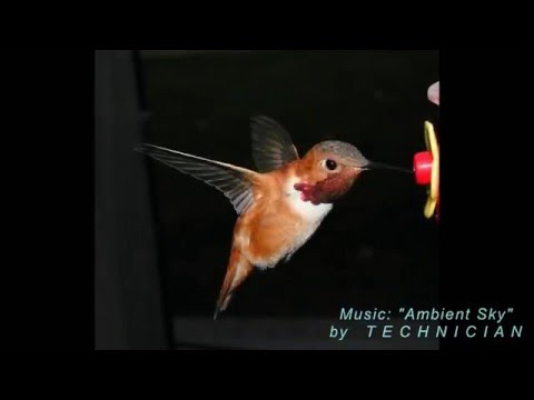 Real Time Hummingbirds Close-up B-Reel 6 V19443
