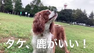 cavalier #ckcs #cavpack #doggo #キャバリア #犬 #お散歩 いつもはタケ...
