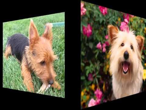 Dog Australian Terrier | Terrier Dog Breed Pictures