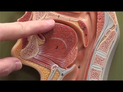 Head sagittal section (close up)
