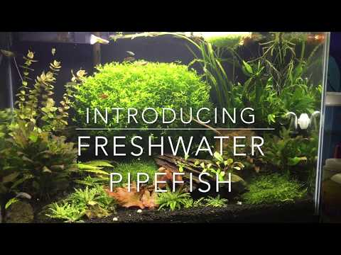 Introducing My Freshwater Pipefish