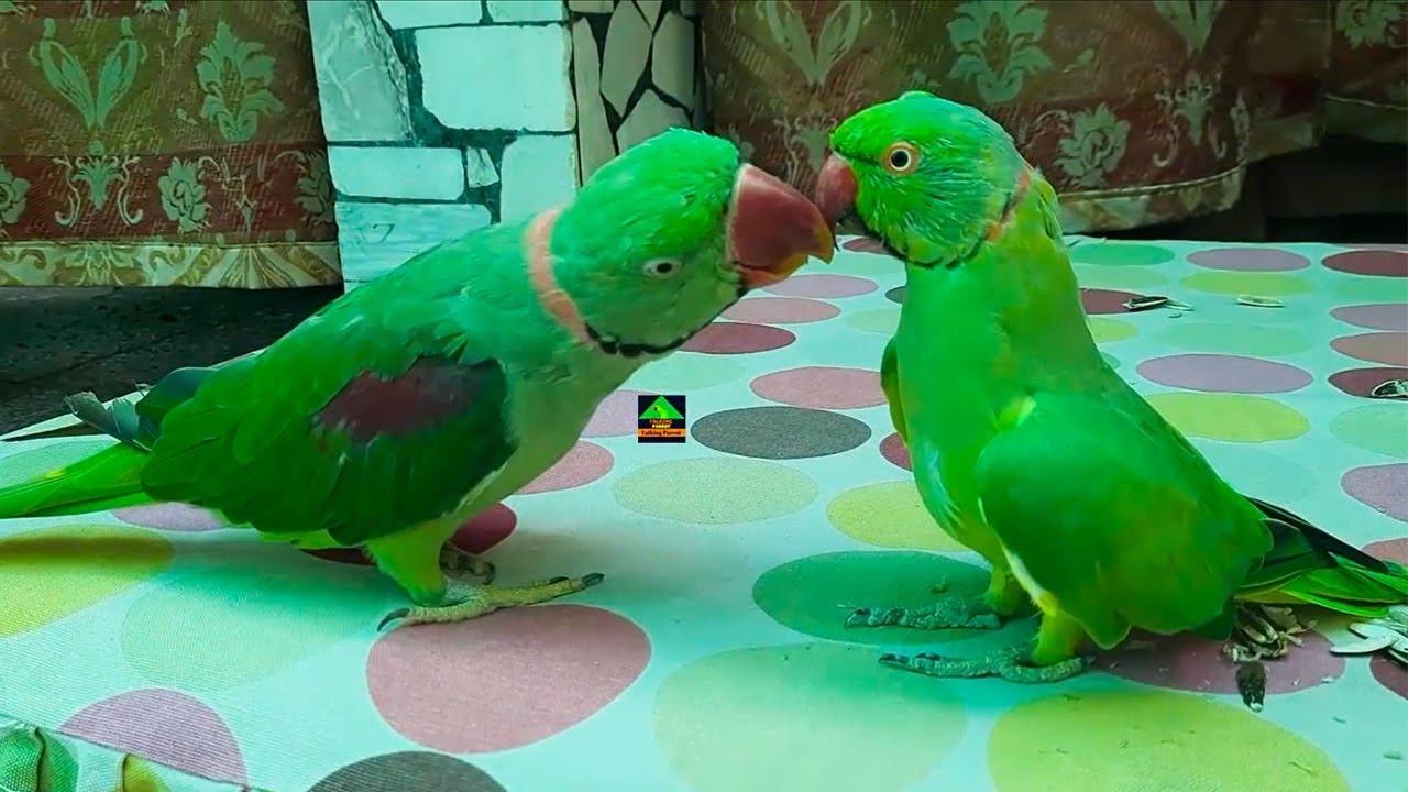 Mitthu Talking Parrot Feeding The Rio Raw Talking Parrot   Mitthu And Rio So Funny Talking Parrots