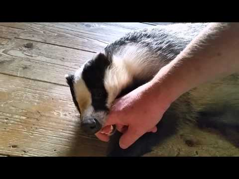 Tor the tame badger playing after his bath.
